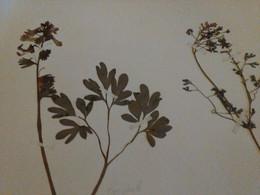 Planche Herbier Fumariaceae - B. Bloemplanten & Bloemen
