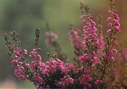 Kanerva - Heather - Ljung - WWF Panda Logo (Calluna Vulgaris) - Flowers