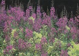 Maitohorsma - The Rose- Bay - Meadow Sweet - WWF Panda Logo (Calluna Vulgaris) - Flowers