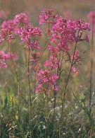 Flowers - Fleurs - Bloemen - Blumen - Fiori - Flores - Mäkitervakko - Viscaria Vulgaris - WWF Panda Logo - Flowers