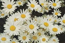 Flowers - Fleurs - Bloemen - Blumen - Fiori - Flores - Moon Daisy - Päivänkakkara - WWF Panda Logo - Flowers