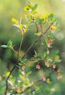 Berries - Juolukka - Bog Bilberry - Vaccinium Uliginosum - WWF Panda Logo - Other