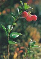 Morning Frog In Lingonberry Berries - WWF Panda Logo - Puolukka - Vaccinium Vitis-idaea - Other