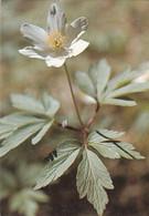 Flowers - Fleurs - Bloemen - Blumen - Fiori - Flores - Valkovuokko - Wood Anemone - WWF Panda Logo - Flowers