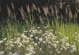 Flowers - Fleurs - Bloemen - Blumen - Fiori - Flores - Oxeye Daisy - Päivänkakkara - WWF Panda Logo - Flowers
