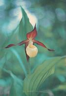 Flowers - Fleurs - Bloemen - Blumen - Fiori - Flores - Guckusko - Tikankontti (Cypripedium Calceolus) - WWF Panda Logo - Flowers