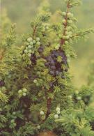 Juniper - Kataja - Juniperus Communis - WWF Panda Logo - Flowers