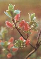 Tunturipaju - Ripvide - Salix Glauca - WWF Panda Logo - Other