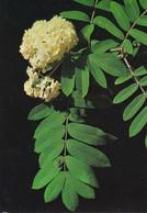 Pihlaja - Rönn - WWF Panda Logo - Mountain Ash - Sorbus Aucuparia - Flowers
