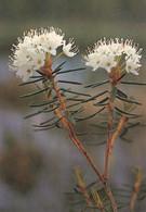 Flowers - Fleurs - Bloemen - Blumen - Fiori - Flores - Suopursu - Wild Rosemary - WWF Panda Logo - Flowers