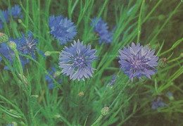 Flowers - Fleurs - Bloemen - Blumen - Fiori - Flores - WWF Panda Logo - Ruiskaunokki - Cornflower - Flowers