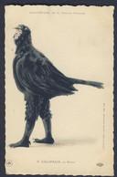 Chantecler Le Merle Black Bird Edmond Rostand Fantasy 1910 Postcard - Pájaros