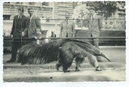 Dierentuin - Grote Miereneter - Zoo - Antwerpen Myrmecophaga Tridactyla - Antwerpen
