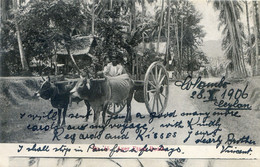 Ceylan - Colombo - Ayer Etaro Road - Attelage De Bœufs - Sri Lanka (Ceylon)