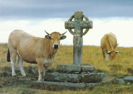 15  Vaches Aubrac A La Croix De La Rode - Andere Gemeenten