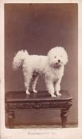Ali Caniche Famille MORETUS Photo CDV Par Photographie Artistique D'Anvers Années 1860 ANTWERPEN - Anciennes (Av. 1900)