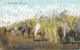 1909 - Growing Sugar Cane, Cuba - Cuba