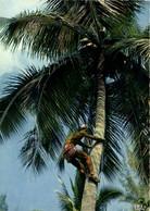 Cueillette De Noix De Coco - Tahiti