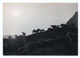 Expo-photo B.Grange Valloire 713. Contemplation  Troupeau De Moutons Au Crépuscule En Alpage - Non Classificati