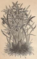 A4578 Orchidea Odontoglossum - Incisione - Stampa Antica Del 1887 - Stampe & Incisioni
