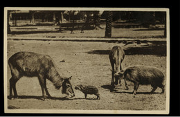 KHARTOUM ZOO ( SUDAN ) BUSH-PIG   -  VINTAGE POSTCARD - Pigs