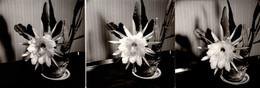 3 Photos Carrées Originales Nature, Fleurs & Plantes Grasses - Jolie Fleur D'Epyphillum Empereur Du Maroc Vers 1960/70 - Ohne Zuordnung