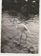 ANIMAUX 409 : Flamand Rose En Camargue Avec Les Gardian , édit. Mireille N° 13200/7 - Uccelli