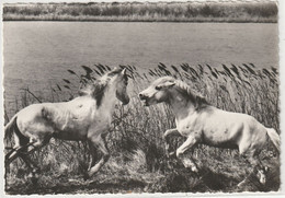 ANIMAUX 416 Crin Blanc Au Combat ; Cheval En Camargue : édit. Mar N° AG 73 - Cavalli