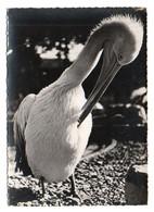 Oiseaux 049, Pélican, Photo Ylla 4911-44 - Vogels
