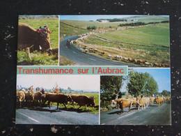 TRANSHUMANCE SUR L'AUBRAC VACHE COW - Auvergne