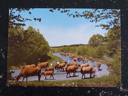 SUR LES MONTS D'AUBRAC - AUVERGNE - LA TRANSHUMANCE VACHE COW - Auvergne