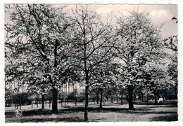 SINT- TRUIDEN  -  SAINT-TROND   Bloesemweelde - Vergers En Fleurs. - Sint-Truiden