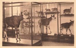 Belgique Tervueren Musée Du Congo Belge Okapi - Tervuren