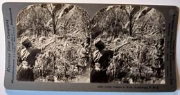 PHOTO STÉRÉO GUADELOUPE - Récolte Du Café - Ed. Keystone - TBE1903 - Stereoscopio