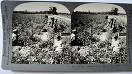 PHOTO STÉRÉO USA -  Récolte Des Tomates - Père Et Ses Enfants - Près De Buffalo -- A Voir ! - 1905 - Ed. Keystone - TBE - Stereoscopio