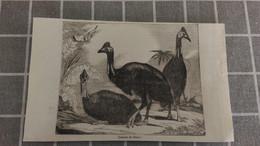 Affiche (dessin Ou Gravure) - Casoars De L'INDE - Posters