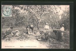 CPA Agen, Cueillette De La Prune, Pflaumenernte - Agen