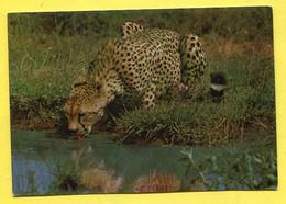 Kenya - African Wildlife - Cheetah - Guépard à L'abrevoir - Kenya