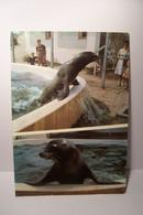 PORT - BARCARES  - LE ZOO MARIN  - OTARIES De Californie  - ( Pas De Reflet Sur L'original  ) - Port Barcares