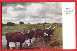 KENYA  ANKOLE LONG HORNED CATTLE - Kenya