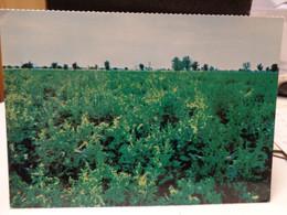 Cartolina La Gaiana S.P.A  Centro Seme Bietole Cesena Campo Fruttificazione Seme - Cesena