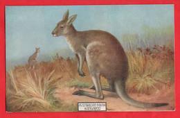 AUSTRALIA   KANGAROO    AUSTRALIAN FAUNA AND FLORA SERIES - Outback