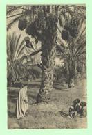 K834 - AFRIQUE - Scènes Et Types - La Cueillette Des Dattes - Unclassified