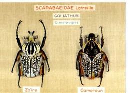 Collection Philippe Grivot Goliathus Meleagris  Habitat Afrique Equatoriale, Scarabees Zaire, Cameroun - Insetti