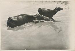 Real Photo Tiberias Lake Buffalos Buffles  Size 12,5 By 8,5 Cms - Israel