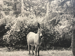 Un ÂNE Dans Une Clairière En France -☛Attaché A Un Arbre -Photographie- Photo Originale-animal Domestique Mais Têtu--- - Unclassified