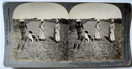 PHOTO STÉRÉO USA - Scène Agricole - Culture De Salades Près De Buffalo - A Voir ! Ed. Keystone 1906 BE - Stereoscopio
