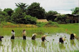 Thailande - Thai Farmers Are Transplating The Seedling - Thaïlande