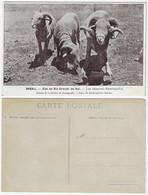 Brazil Rio Grande Do Sul 1910s Postcardbreeding Of Rambouillet Sheep Editora Mission De Propagande Unused - Altri
