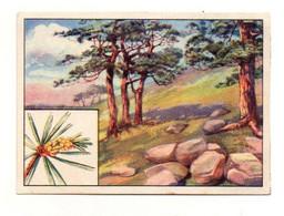 Image Série 13Bild 6Baume Des Deutschen Waldes Kiefer Echte Wagner Margarine - Format : 10x7cm - Other